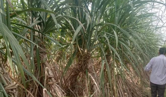 मेरठ : हरियाणा का नया गन्ना UP के किसानों को बनदेगा मालामाल